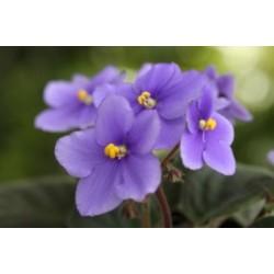 African Violet Incense