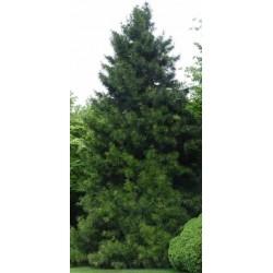 Pine Incense